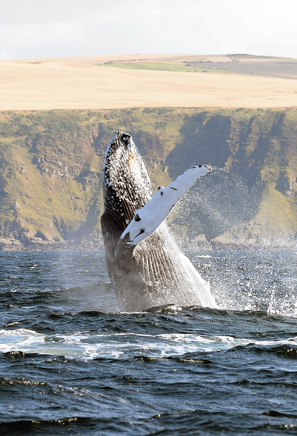 Majestic humpback whale breaks the water off the coast of Scotland near Banff in the Moray Firth