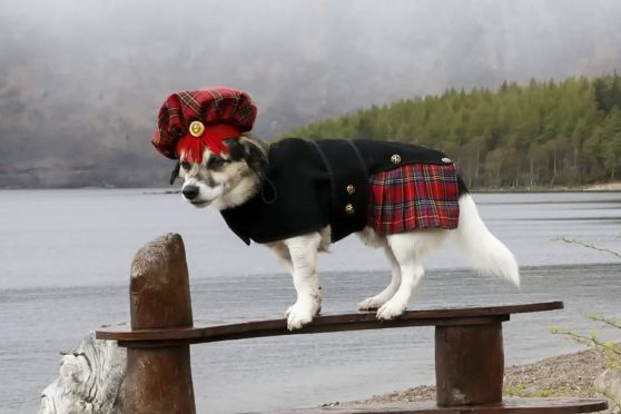 Cluanie the kilted Jack Russell
