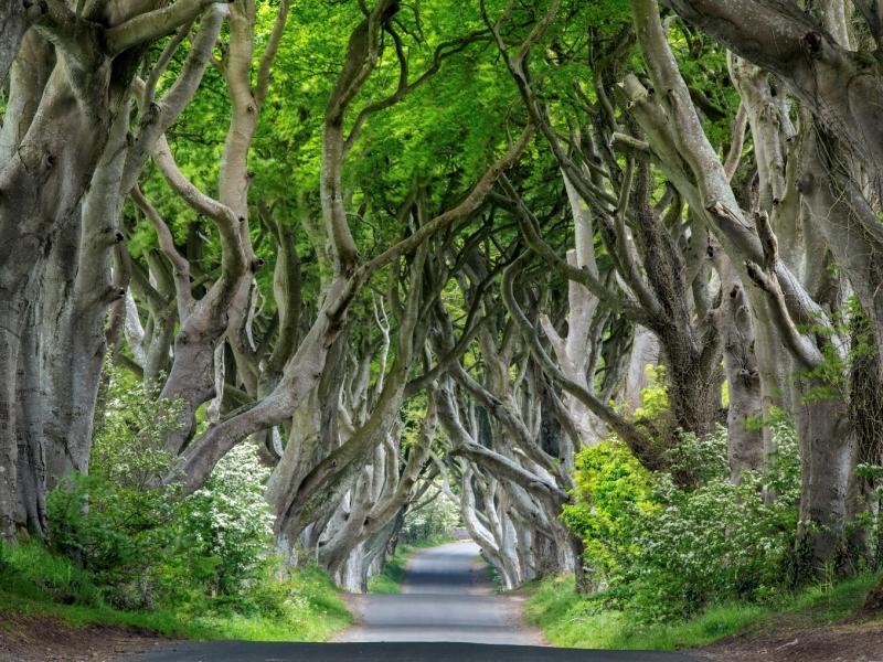 Dark Hedges, County Antrim.