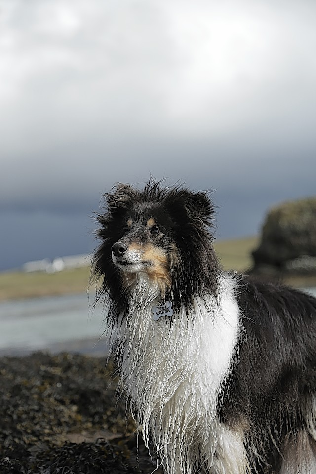 Fenton, the Shetland Sheepdog