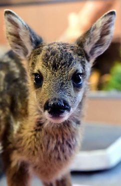 Mavis the baby roe deer at the New Arc. Picture by Kami Thomson.
