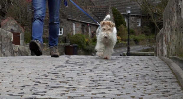 Bertie, the fox terrier from the Granite City