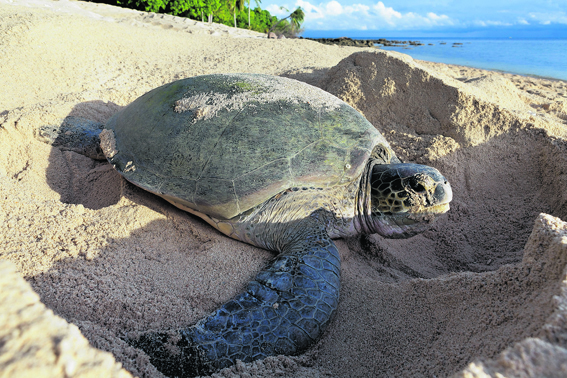 A sea turtle nesting on the beach