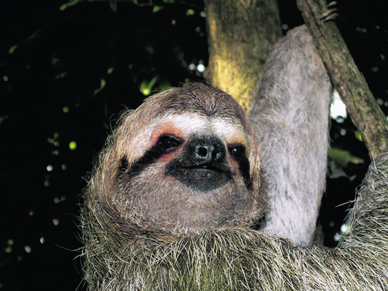 A three-fingered sloth