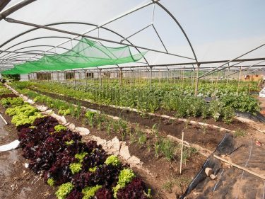 Vegetables growing in the market garden