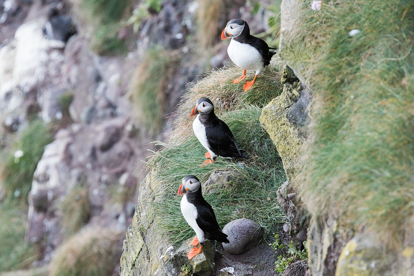 Puffins at Fowlsheugh nature reserve
