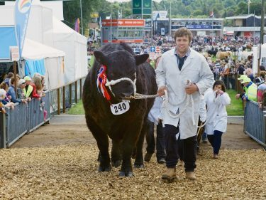 Cattle coming over the new underpass bridge at the Royal Highland Show