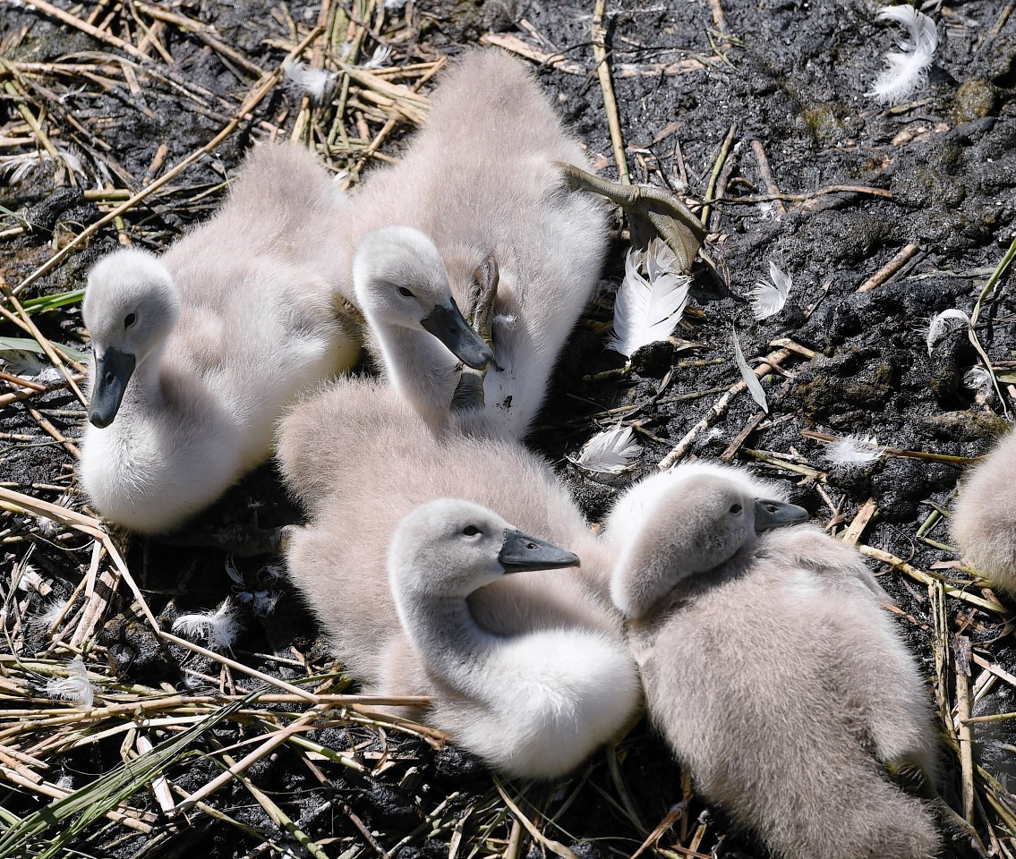 The UHI lochan's latest cygnets are doing fine.