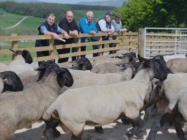 Farmers taking stock of the Suffolk sheep at Blythbank