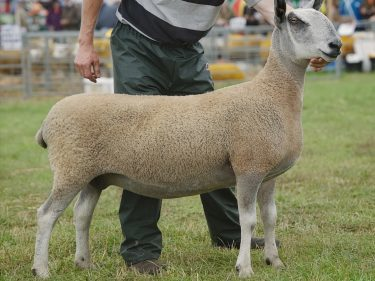 Rodney Blackhall's Bluefaced Leicester champion
