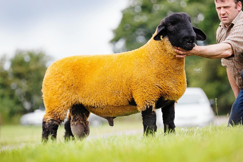 Jimmy Douglas' 15,000gn ram lamb