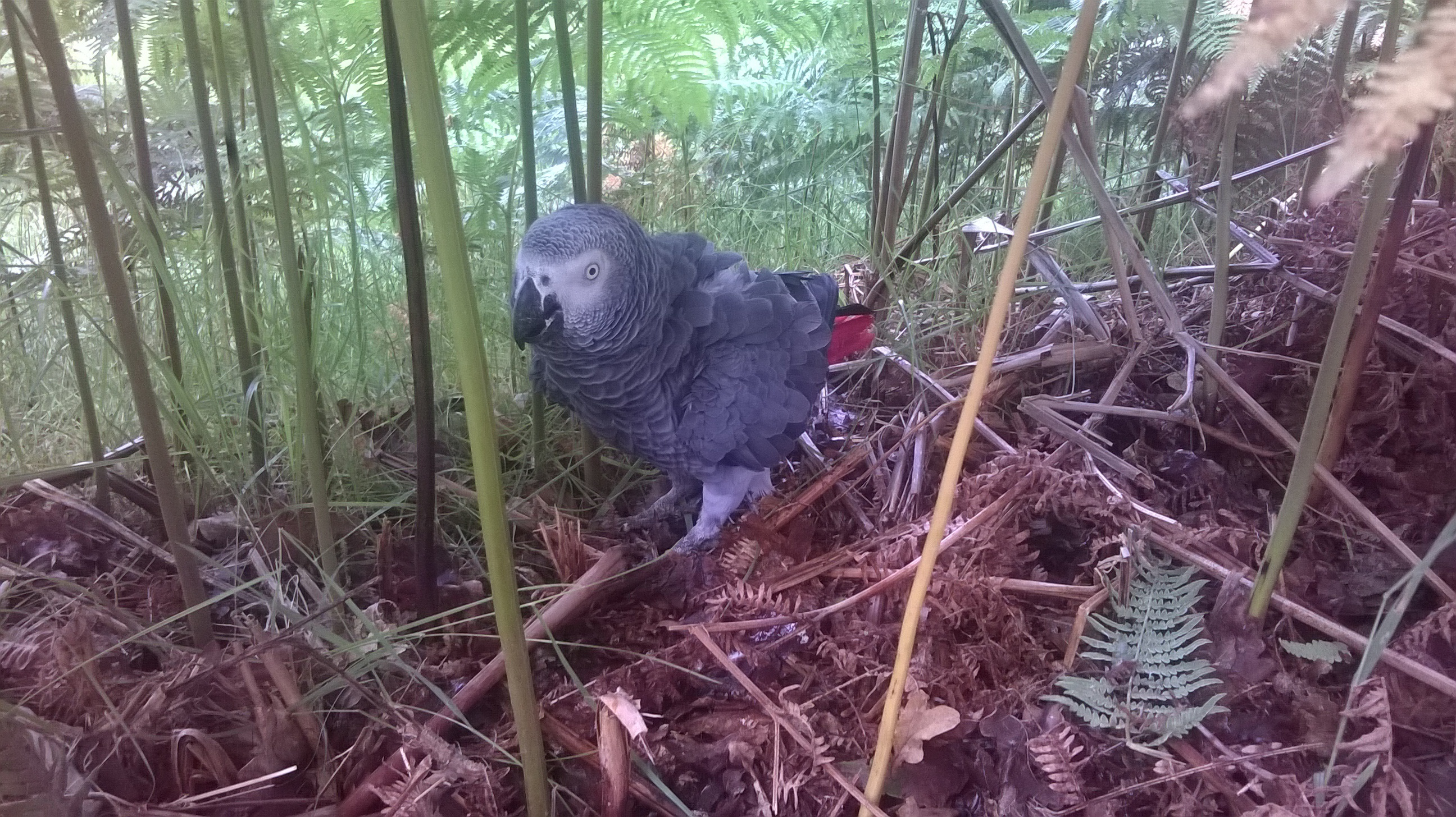 Rio the parrot hiding among the ferns