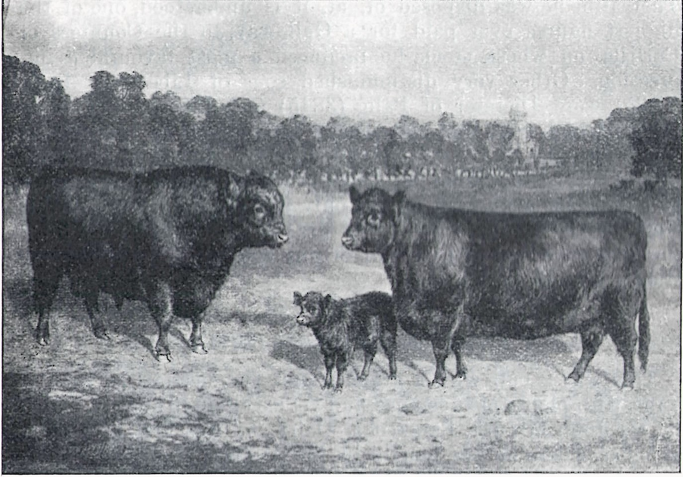 Galloway Cattle