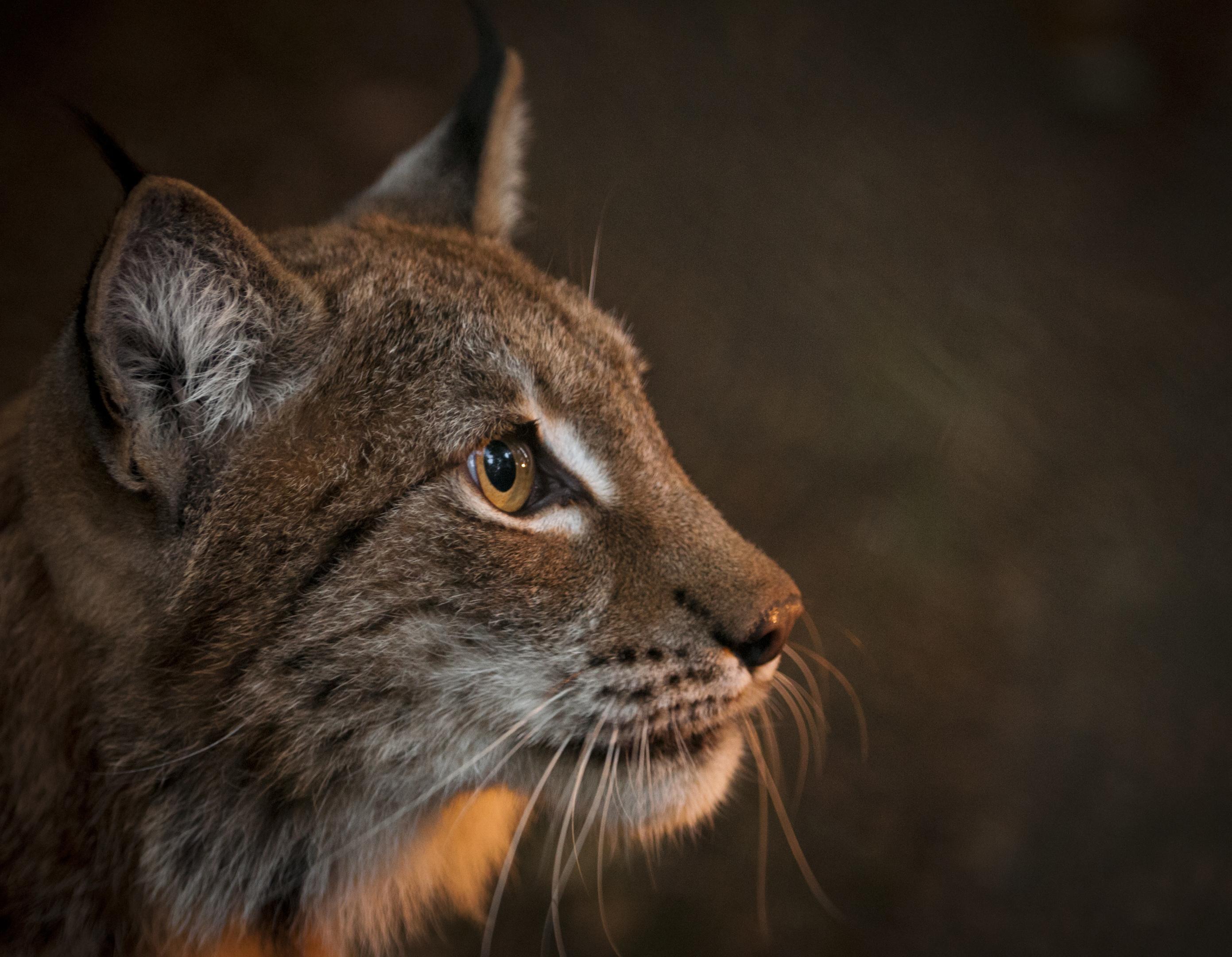 A male lynx. Credit: Chris Godfrey.