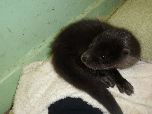 The rescued otter cub who has yet to be given a name