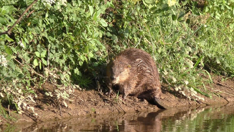 """The report calls for """"rewilding"""" and the reintroduction of extinct native species such as beavers and lynxes"""