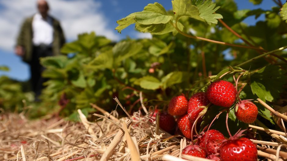 Thousands of EU workers come to the UK for seasonal fruit-picking work.