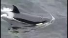 Killer whales hunt seals off Shetland