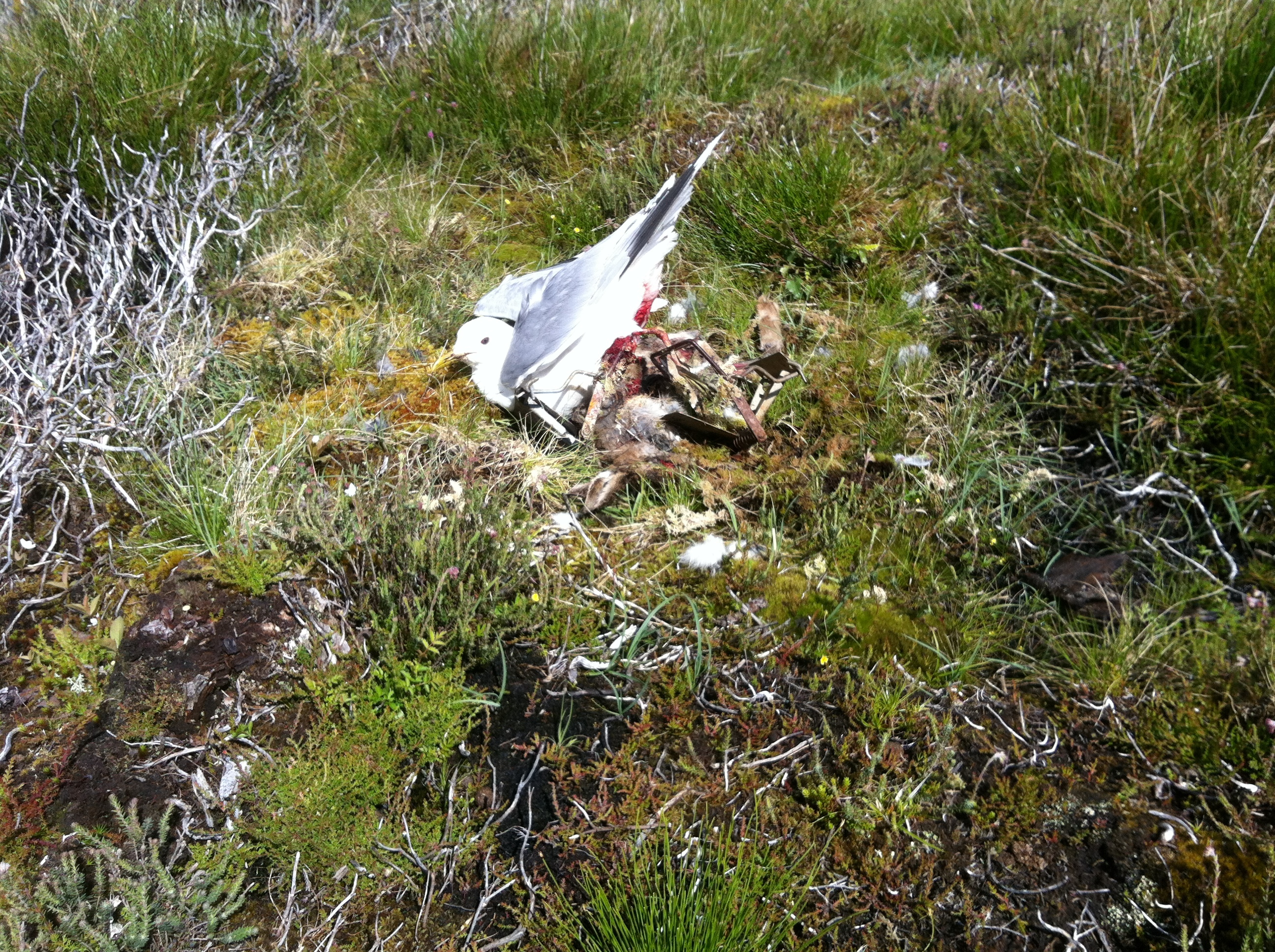 the trapped herring gull at Geallaig Hill