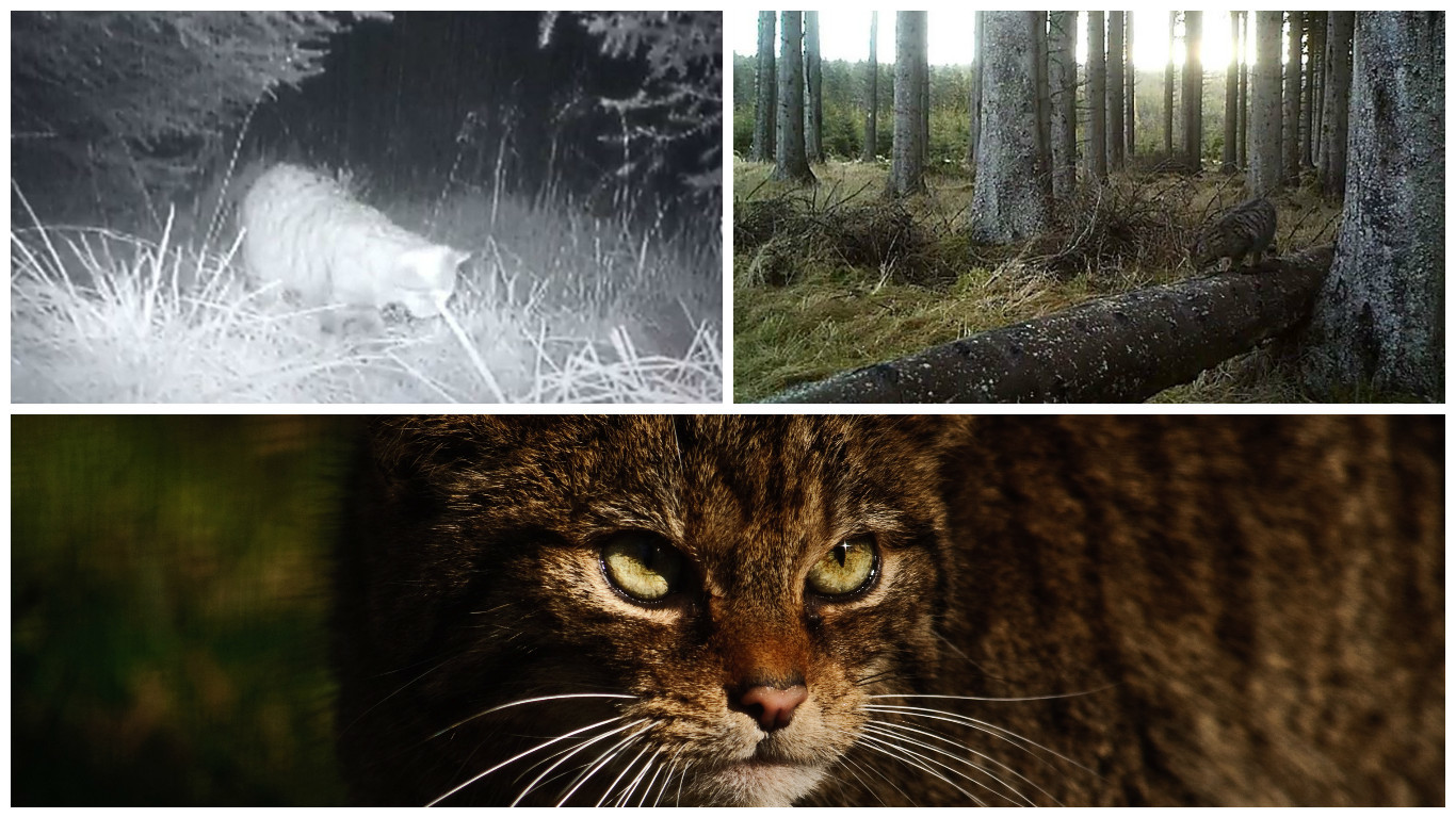A bastion of the Scottish wildcat has been discovered in the Aberdeenshire wilderness.