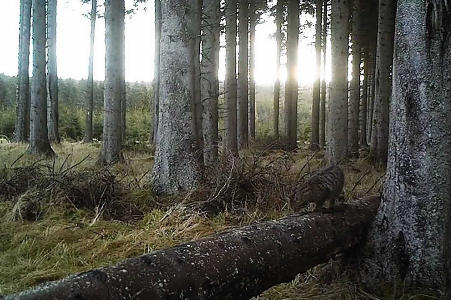 The animals roaming the woods of Aberdeenshire in footage captured by Kevin Bell.