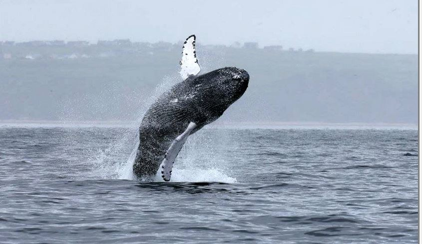 A whale off the north-east coast of Lewis. (Picture: Nick Davies/SWNS)
