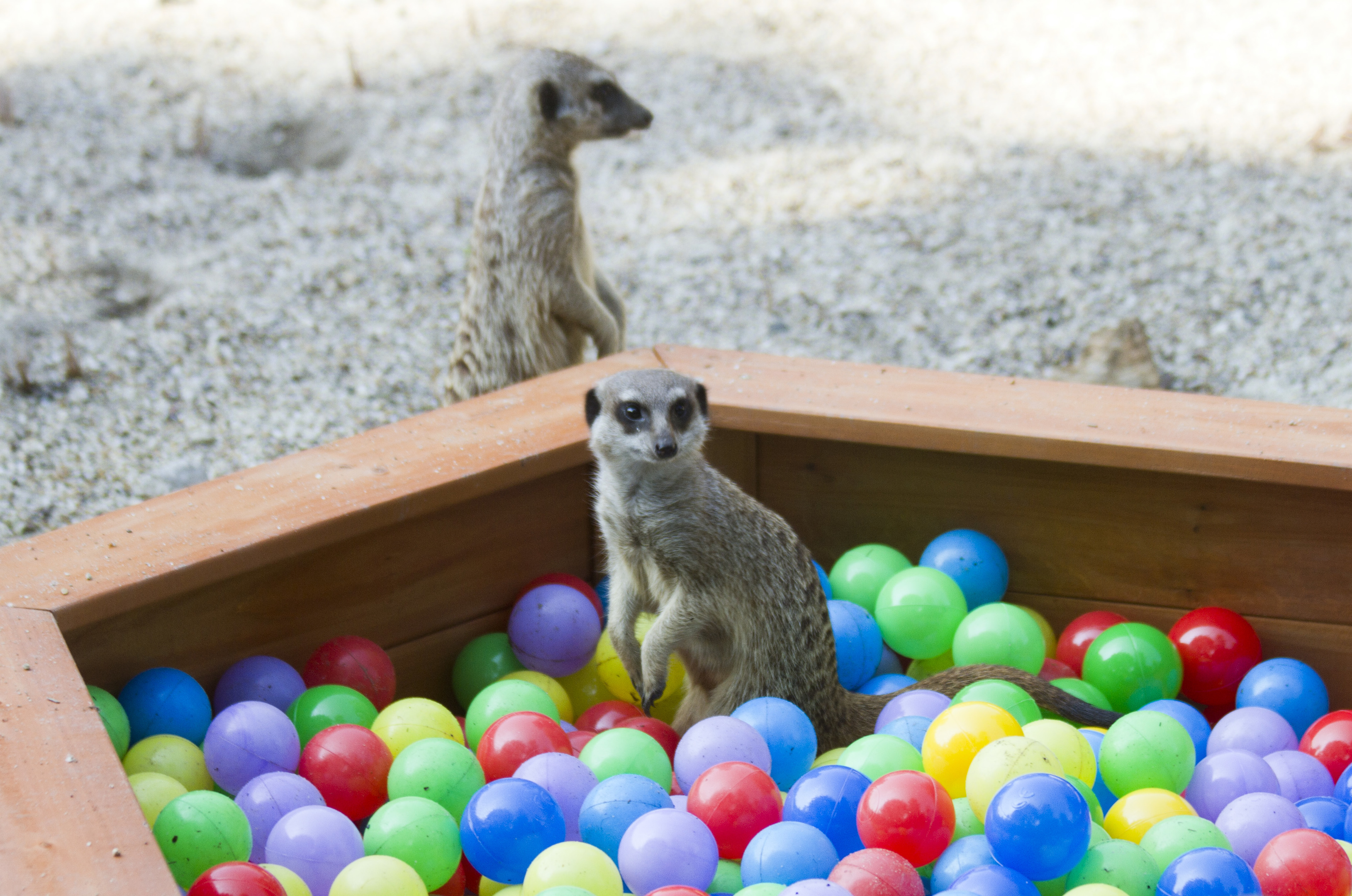 Meerkats diving into new toy. Video and pic credit RZSS/Rosie Collins