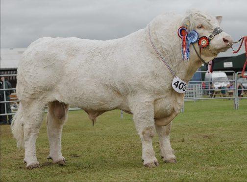 Kilbline Instigator stood beef interbreed champion