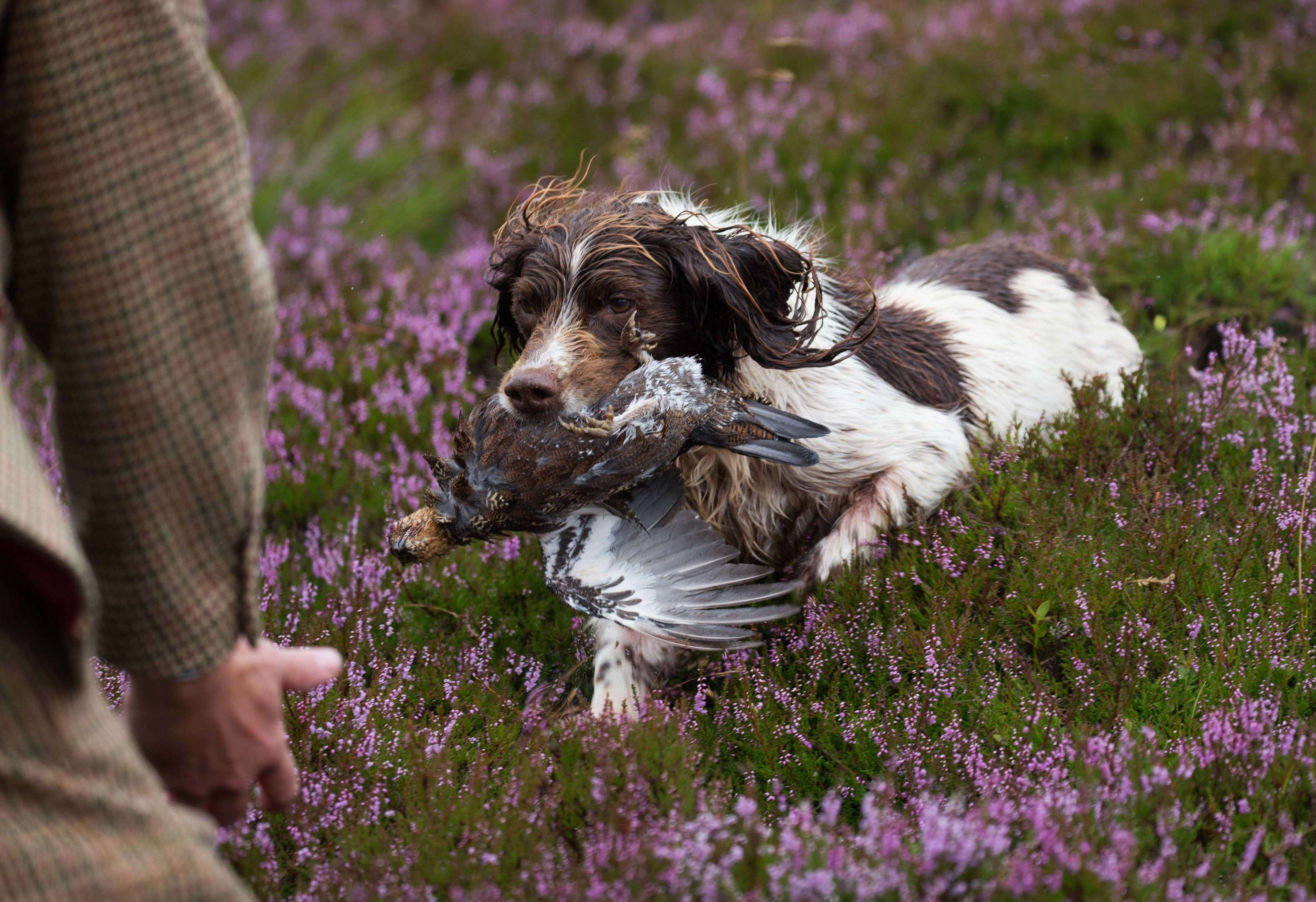 The Glorious Twelfth launcehd by the Gift of Grouse on The Abercairny Estate near Crieff in Perthshire…12.08.16 Dino the spaniel pictured on the grouse moors of the Abercairny estate this morning bringing a grouse to his owner gamekeeper Phil Lowe Picture by Graeme Hart. Copyright Perthshire Picture Agency Tel: 01738 623350 Mobile: 07990 594431