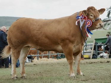 Limousin cow Poolehall Iris stood beef interbreed champion