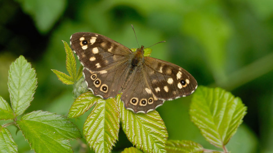 A Speckled Wood butterfly in the wild.