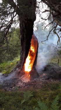 The fire within a  Scots Pine at Rothiemurchus Estate