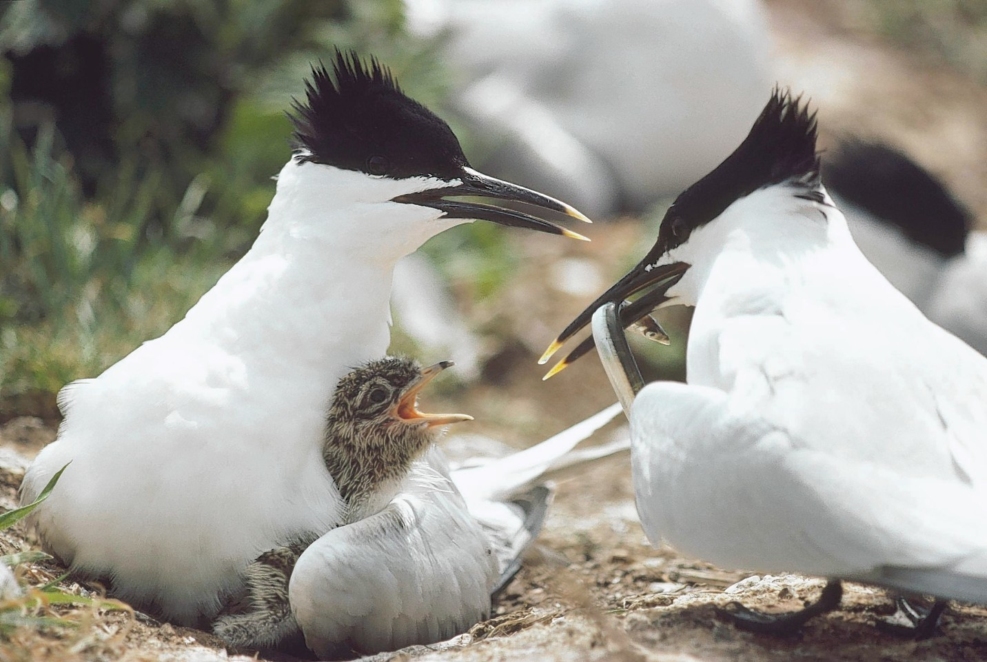 A family of Sandwich Terns,