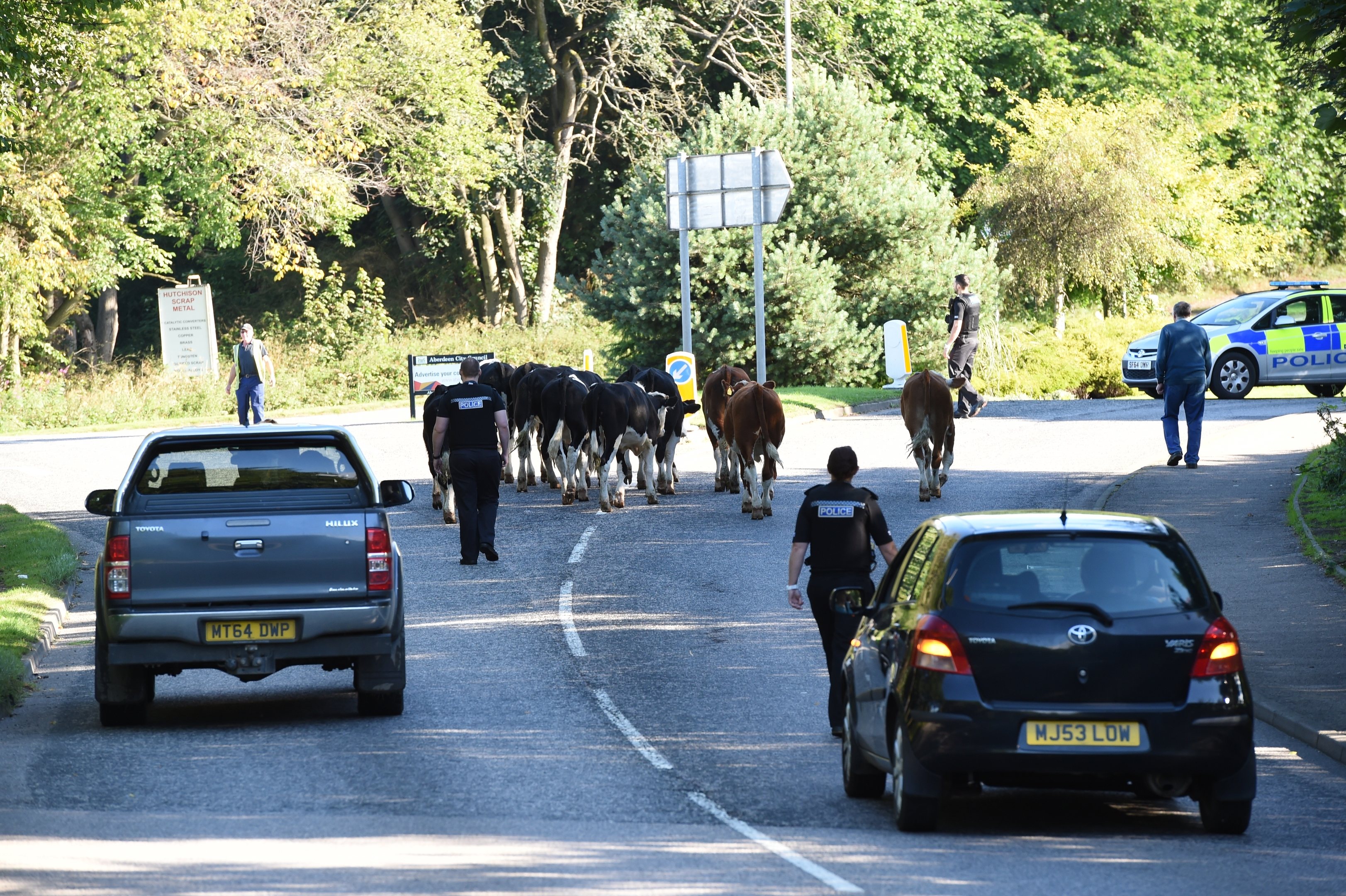 Officers escorted the cows home
