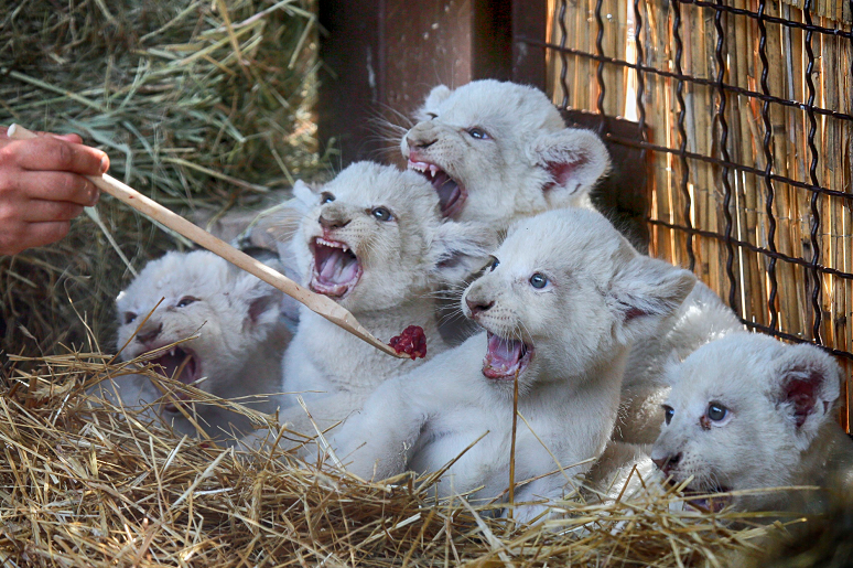 A zoo worker feeds five new-born white lion cubs in a private zoo in the village of Demydiv 50 kilometres west of Kiev, Ukraine