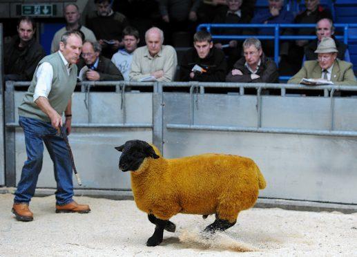 Jimmy Douglas sells a Suffolk ram at Thainstone