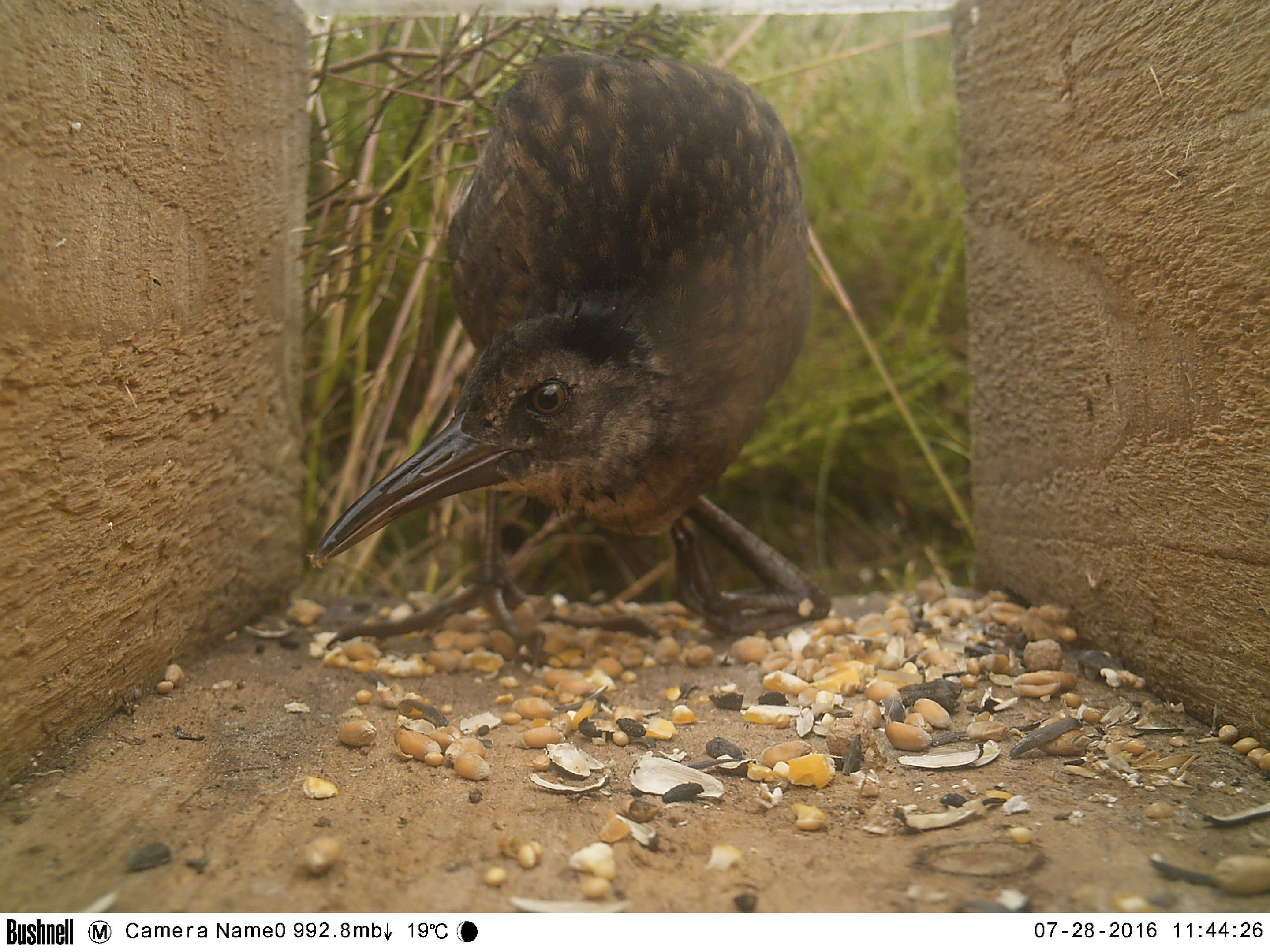 A water rail at Red Moss of Netherley. Credit: Nick Littlewood.