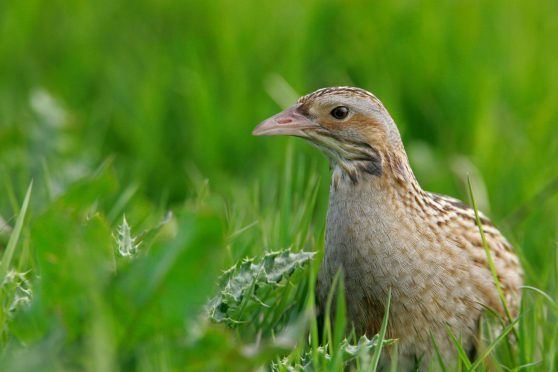 This year's scheme includes an option which will focus on management supporting corncrakes.