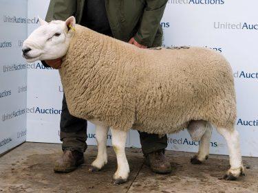 The £6,000 Torrish ram