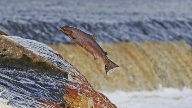 It is hoped the initiative will boost populations of young salmon.