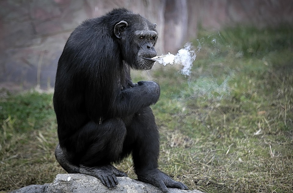 Azalea, a 19-year-old female chimpanzee