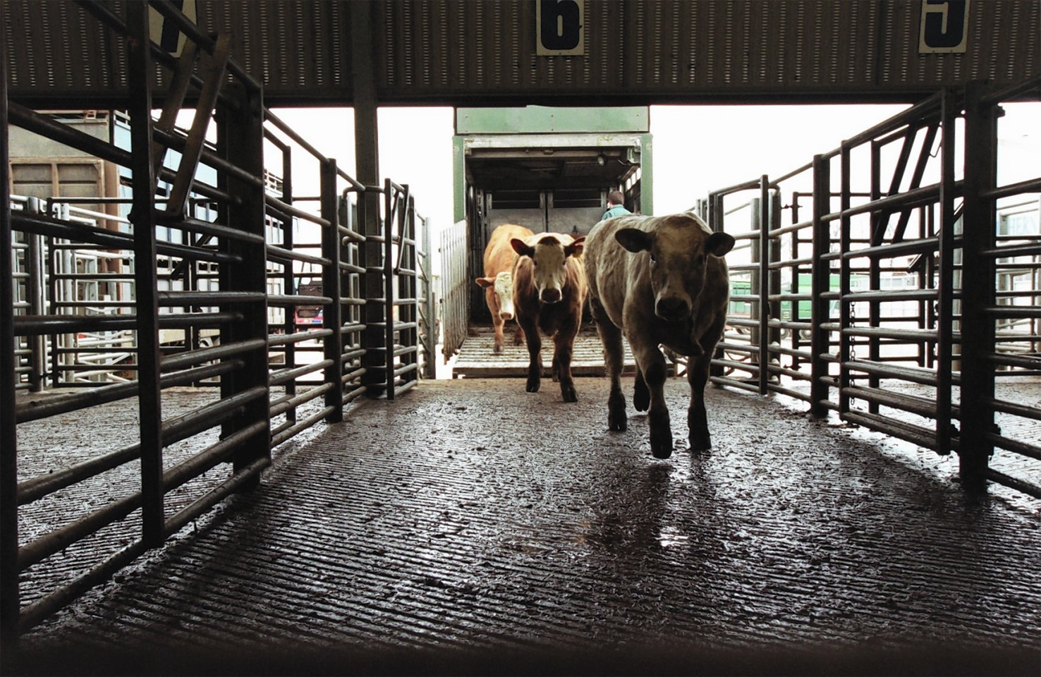 Changes to cattle movement recording come into force tomorrow