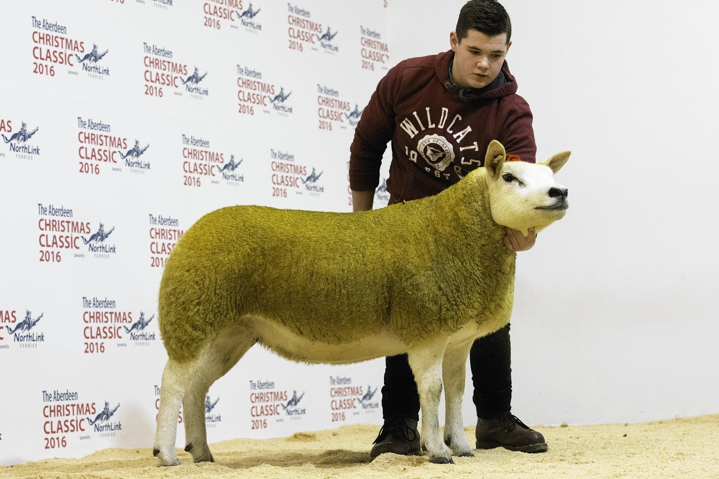 The sale topping Texel gimmer which made 4,200gn