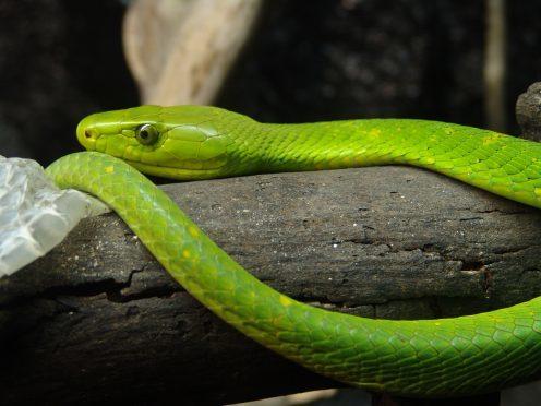 Green mamba