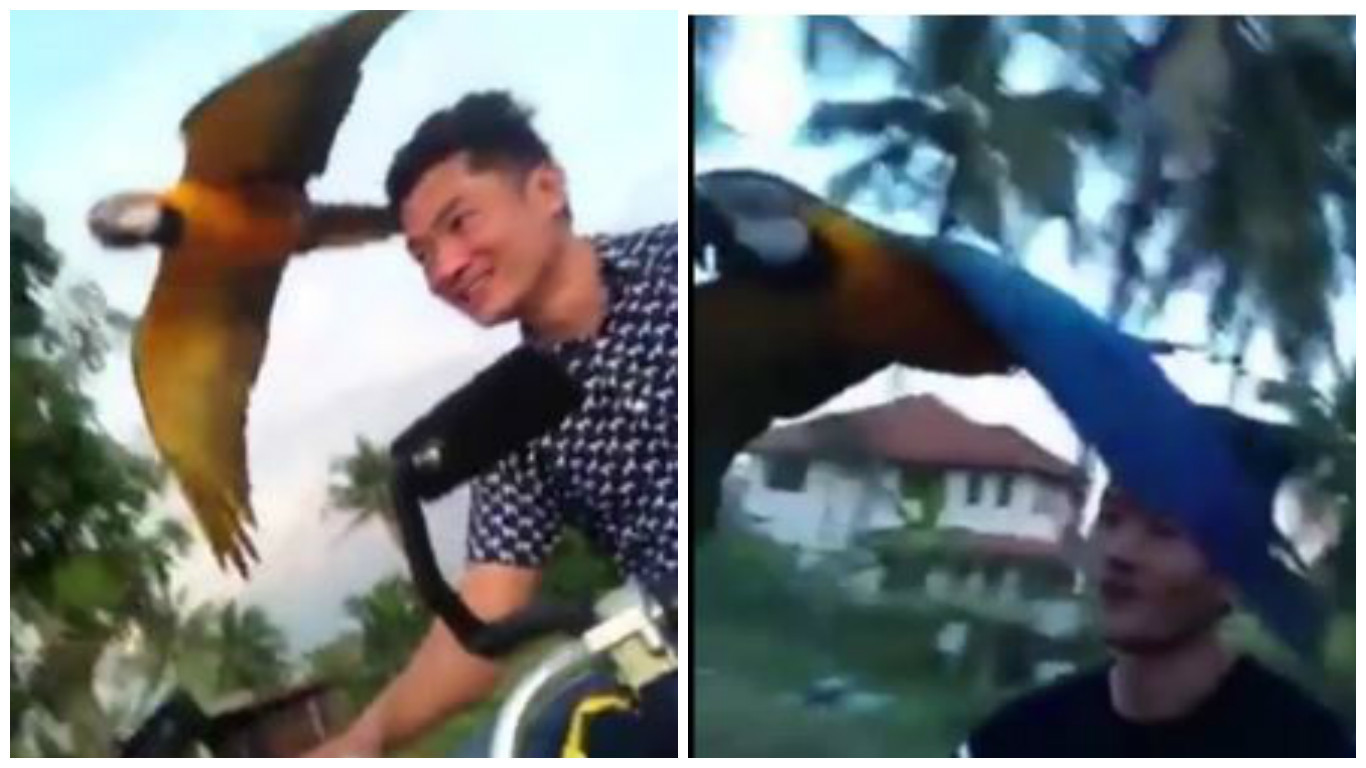 Tong Wiwatsunthon, 23, was riding the 50cc moped down a country road in Chiang Rai, northern Thailand, when the Macaw began flying beside him.