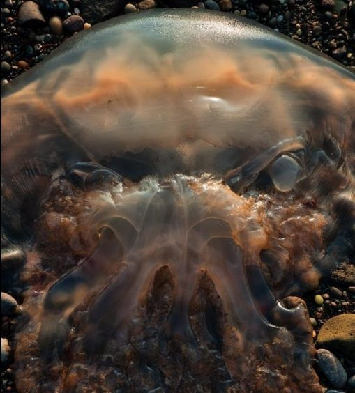 A jellyfish that looks like a creepy monster taken  by photographer Jamie Glenday on the shore at Dunure, South Ayrshire.