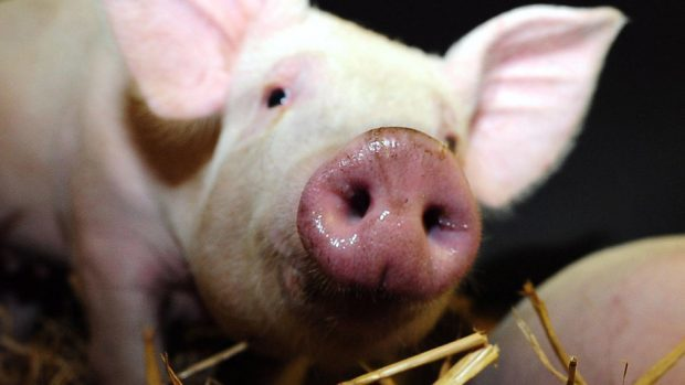 The guide aims to help new pig producers.