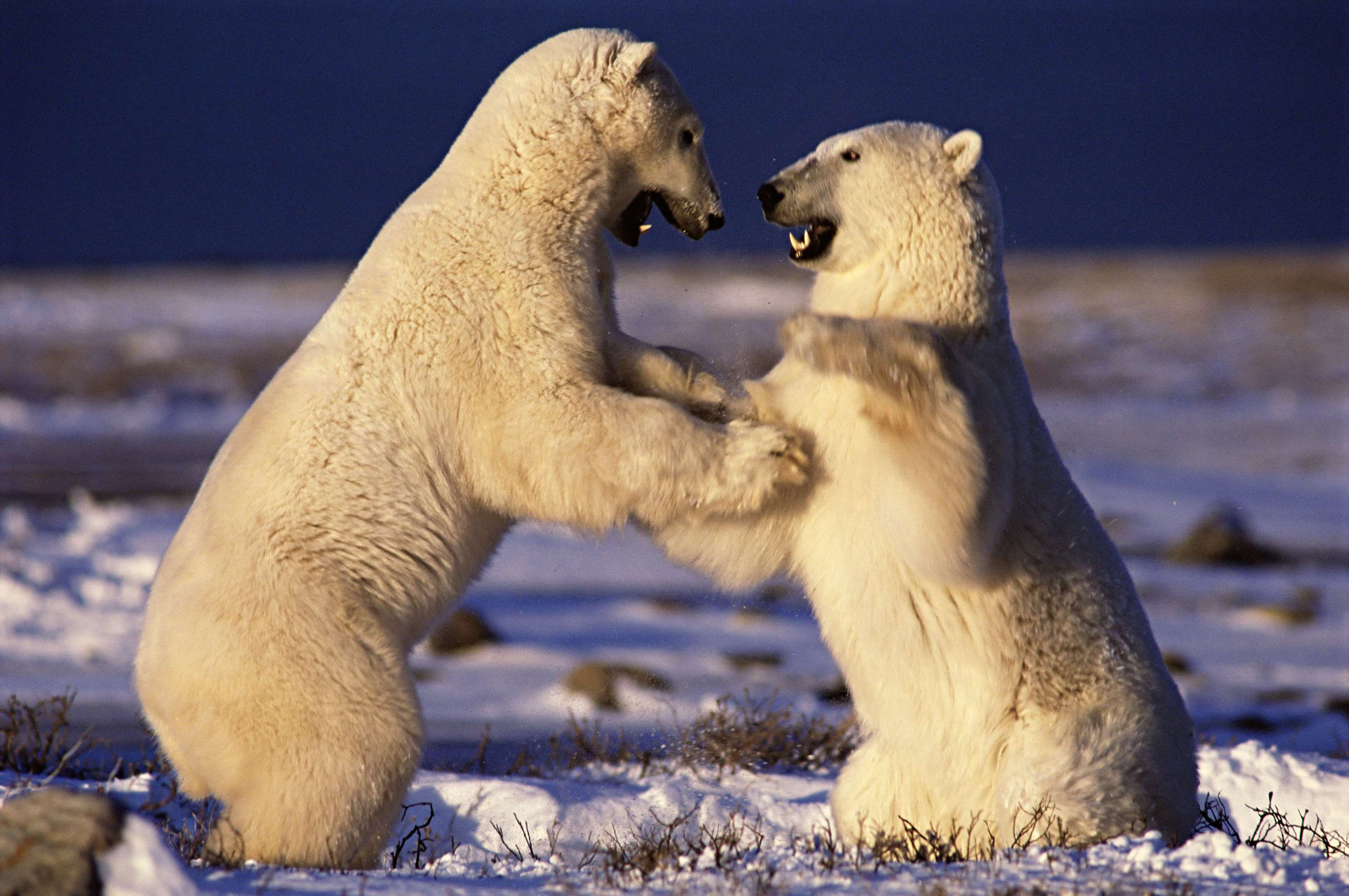 Young male polar bears play in Canada