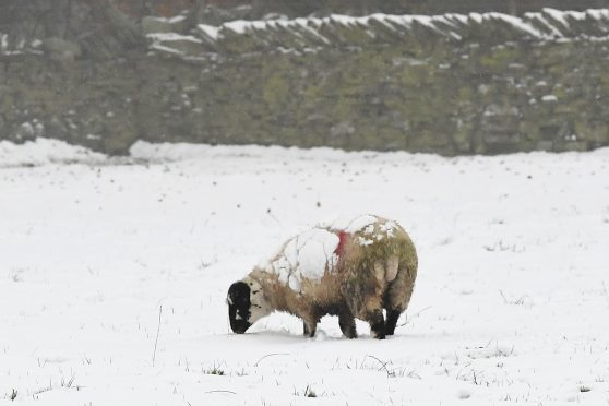A sheep stands in a snow covered field in the village of Upperthong in West Yorkshire