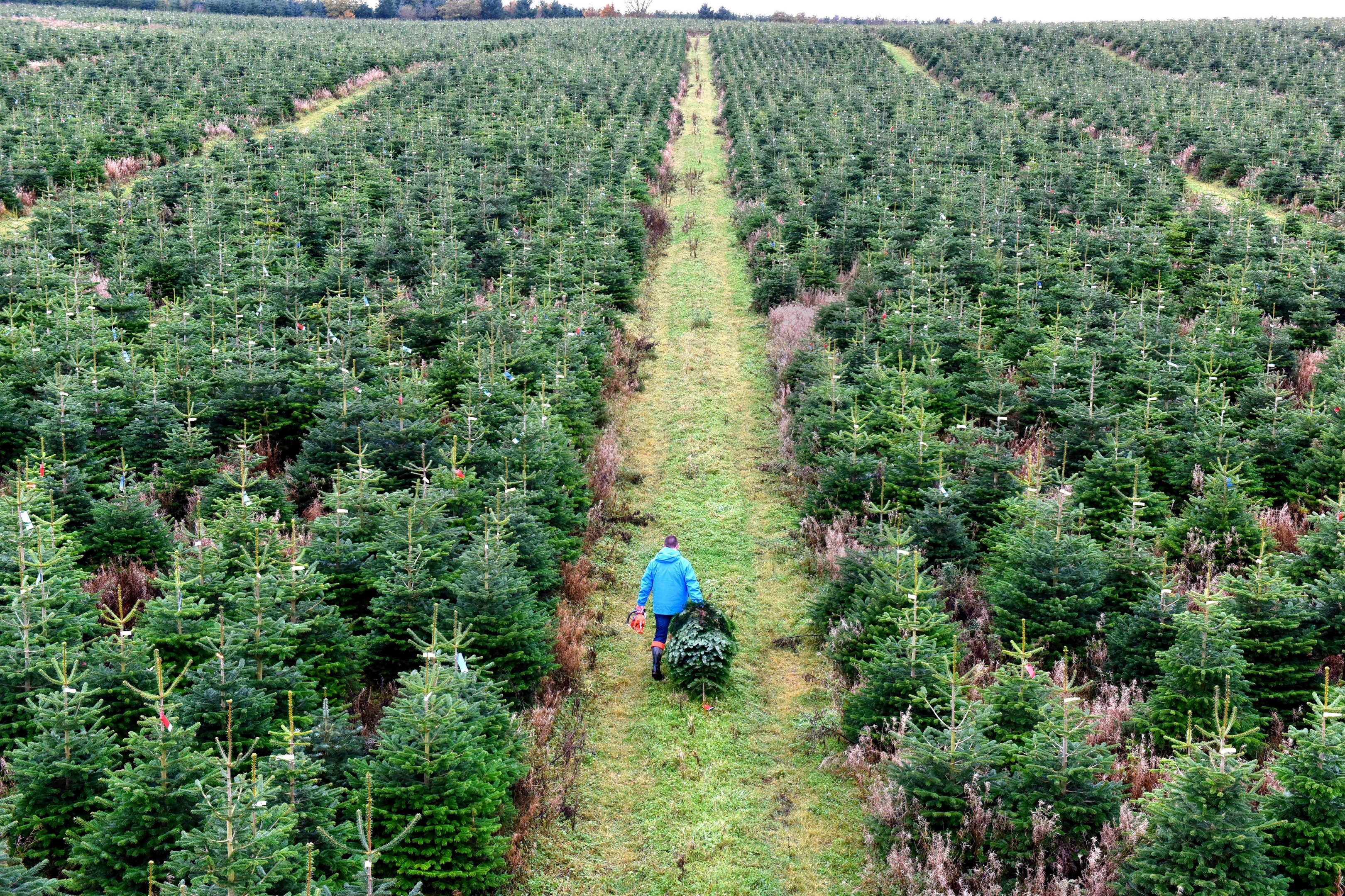 The first of quarter of a million real Christmas trees destined for sale in B&Q stores across the UK are cut by grower Magnus Sinclair in Ellon, Aberdeenshire.